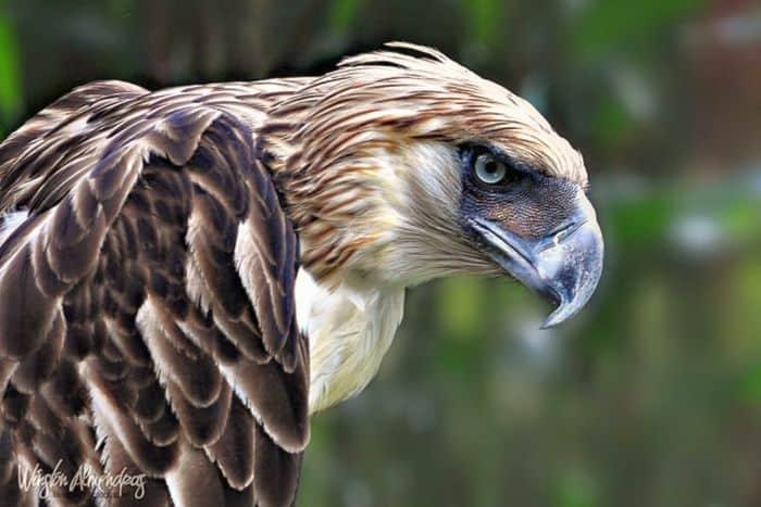philippine-eagle