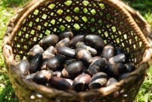 pili-nut-farm