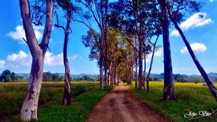 iloilo-city-to-bacolod-mambukal-resort-waterfalls-eucalyptus